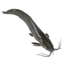 Catfish, Silure, Machoirons 4kg Box