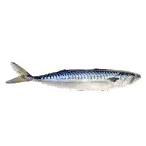 small, medium, big Makrele, Mackerel 20 kg box