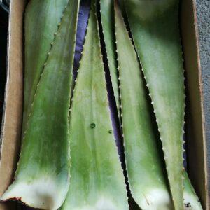 Fresh Aloe Vera 5kg